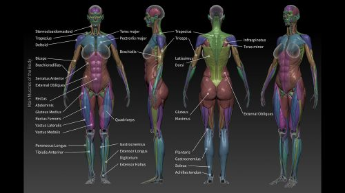 Using anatomy to improve your sculpting – ZBrush Anatomy and Character Creation Course
